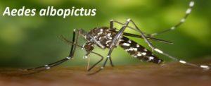 Aedes Albopictus mosquito control