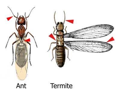 Ant and Termite Control