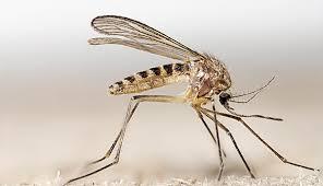 Culex Pipiens mosquito control